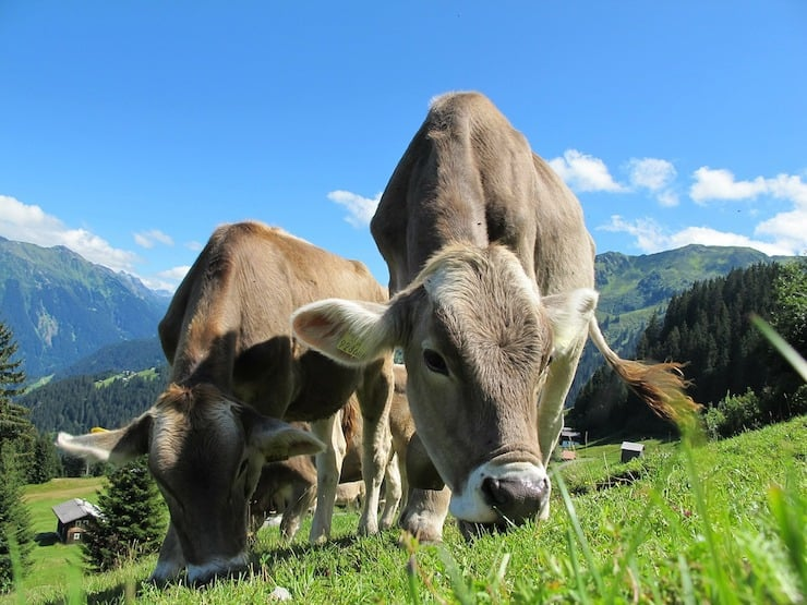 Cows feeding on green grass in an open pasture with blue sky