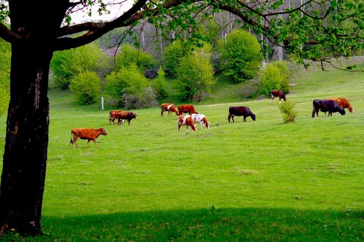 A photo black and brown cows in a green field