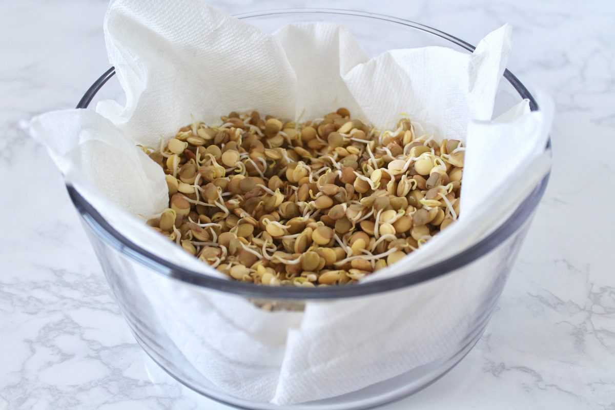 Glass storage container lined with white paper towels filled with green sprouted lentils